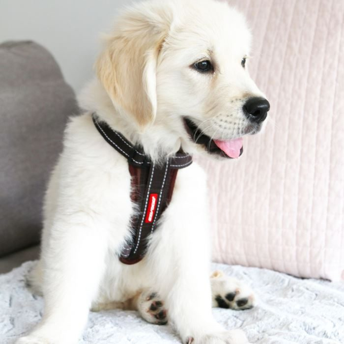EzyDog Chest Plate Harness Butters