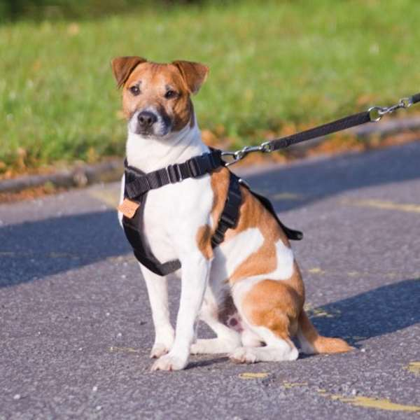 how to put on a leg dog harness