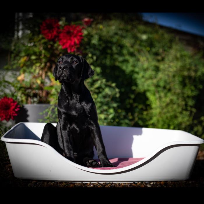Wonderfold Collapsible Dog Bed Light Grey Black Dog